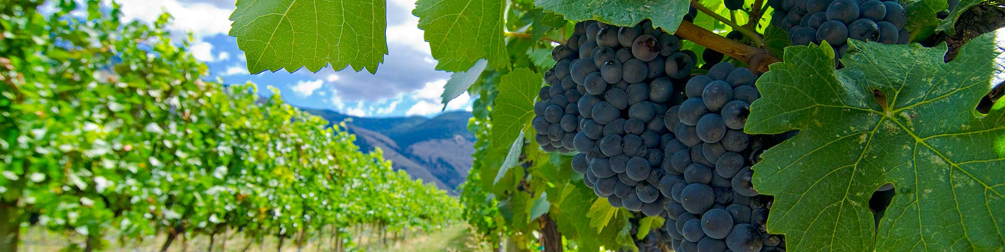 Similkameen Valley Vineyard